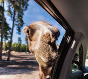 A camel looking in the window Royalty Free Stock Images