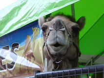 Camel at the Los Angeles County fair in Pomona. Animals, like this camel,  are part of the sights and sounds of the fair Stock Photography