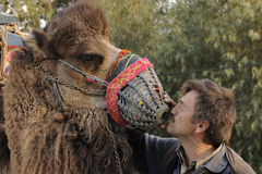 Camel love Stock Images