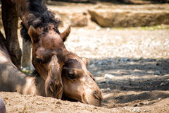 Camel love. Two camels loving on each other royalty free stock photo