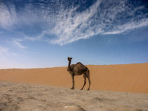 Camel from low angle. Camel with rope pictured from low angle royalty free stock images