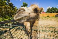Camel in the Lutsk Zoo. Ukraine.  Stock Image