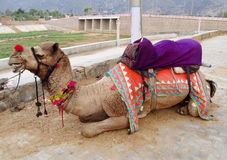 Camel lying in the city Royalty Free Stock Images