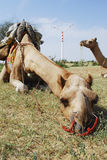 Camel lying down in Rajasthan, India. A camel lying down and resting in Rajasthan, India Stock Photo