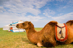 Camel lying in front of yurt. (or ger) on Mongolian steppe Royalty Free Stock Photo