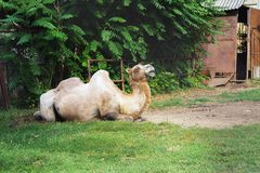 Camel lying on green grass royalty free stock image