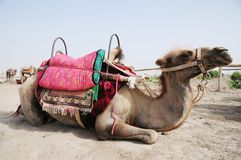A camel lying on sand Royalty Free Stock Photography