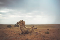 Camel lying on the sand Stock Photography