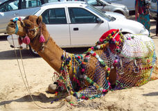 Camel lying on the sand in the city Royalty Free Stock Image