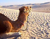 Camel lying on the sand in the desert stock images