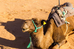 Camel lying on sand in the desert. Camel lying on the sand in the Sahara desert royalty free stock photo