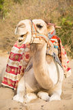 Camel lying on sand Stock Photography