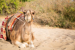 Camel lying on sand Royalty Free Stock Photo