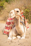 Camel lying on sand Royalty Free Stock Photos