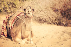 Camel lying on sand Royalty Free Stock Images
