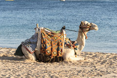 Camel at Makadi Bay Hurghada Egypt. Camel on the beach at Makadi Bay Hurghada Egypt in September. The temperature is still in the high 30Cs most of the time Royalty Free Stock Image