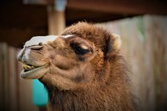 Funny Face Camel. A camel making funny faces at the camera Royalty Free Stock Images