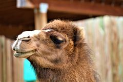Funny Face Camel. A camel making funny faces at the camera Stock Photo