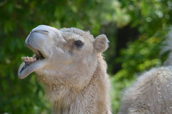 Camel Making Very Funny Faces with His Lips. Funny face on a shaggy camel. Is this an attempt at a smile Royalty Free Stock Photography