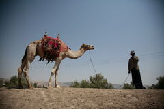 Camel and a man. A picture of a camel and his owner Royalty Free Stock Photo