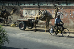 Camel & man carrying milk on the street in India. Milk is a drink in the morning, you will encounter on the road Royalty Free Stock Image