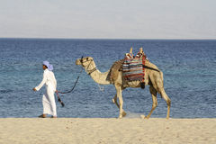 Camel Man Walking Red Sea Stock Photography