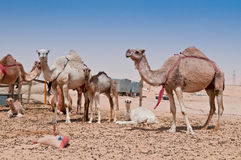 Camel Market. Camels for sale at a market in the Middle East Royalty Free Stock Images