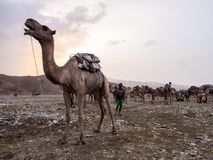 Camel market in the Afar region in northern Ethiopia. AFAR REGION, ETHIOPIA - JUNE 28, 2016: Camel market in the Afar region in northern Ethiopia, shortly after royalty free stock photo