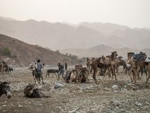Camel market in the Afar region in northern Ethiopia Royalty Free Stock Photo