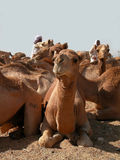 Camel market Royalty Free Stock Photography