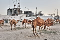 Camel market in HDR Royalty Free Stock Photography