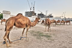 Camel market in HDR Royalty Free Stock Image