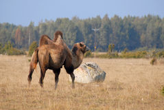 Camel on meadow in Oland Stock Photos