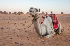 Camel at Meroe pyramids. royalty free stock photography
