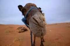 Camel in Merzouga desert, Morocco. Grazing camel in the morning in Merzouga desert, Morocco. Rising sun illuminate the landscape with soft golden light stock photos