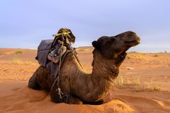 Camel in Merzouga desert, Morocco. Grazing camel in the morning in Merzouga desert, Morocco. Rising sun illuminate the landscape with soft golden light stock image