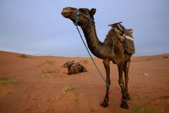 Camel in Merzouga desert, Morocco. View on the Merzouga desert with a camel standing on a sandy dune royalty free stock images
