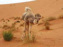 Camel at Merzouga, Morocco Stock Photo