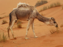 Camel at Merzouga, Morocco Royalty Free Stock Photos