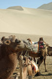Camel in Mingsha Shan, Dunhuang Royalty Free Stock Images