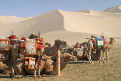 Camel in Mingsha Shan, Dunhuang Stock Photo
