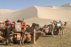 Camel in Mingsha Shan, Dunhuang Stock Photo