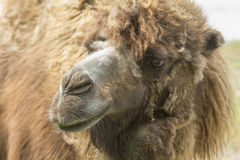 Camel molts Royalty Free Stock Photography