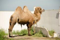 The camel molts Stock Photos