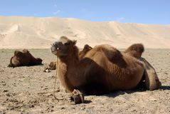 Camel in Mongolia Royalty Free Stock Photo