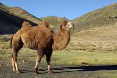 Camel in Mongolia Royalty Free Stock Images