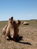 Camel in Mongolia Stock Photography