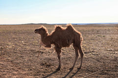 Camel in Mongolia Stock Image