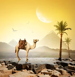 Camel and moon Stock Images