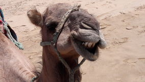 Camel. Moroccan  camel purely race tangier city Royalty Free Stock Photos